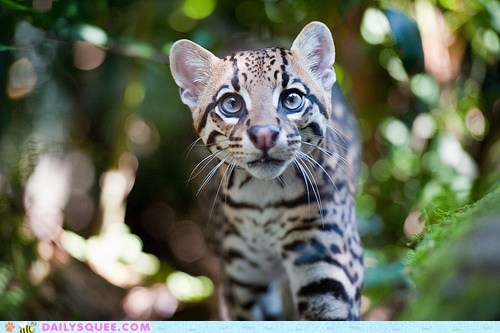 big cats,Cats,Hall of Fame,ocelot,squee,stalkers,stalking