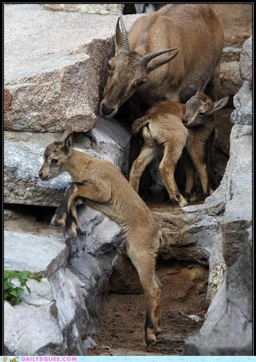 deer,goat,jump,kid
