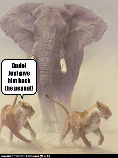 attack,elephant,lion,lions,peanut,running,whoa