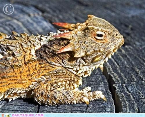 bainvilles-horned-lizard,coast horned lizard,horns,squee spree,stump,wood