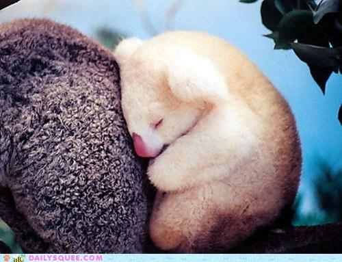 albino,cuddle,koala,koala bears,koalas,nap,sleep,snuggle,squee,tree,white