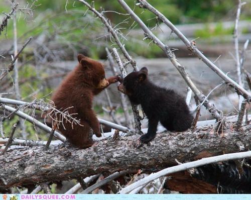 bears,black,boop,brown,cubs,play,tree