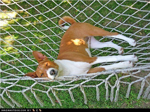 Goggie ob teh Week FACE OFF: Basenji