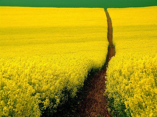 Mustard Field, Germany