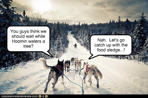 dogs,funny,iditarod,mixed breed,mushing,sled dog