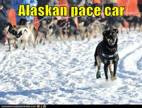 dogs,dog sled,iditarod,mush,sled dog,update