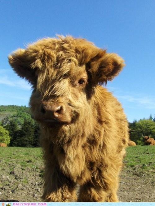 calf,cow,field,grass,hairy,shaggy