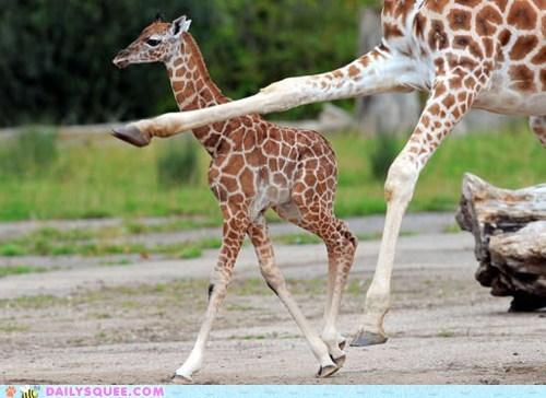 Awkward,giraffes,knees,knobby,run,squee spree