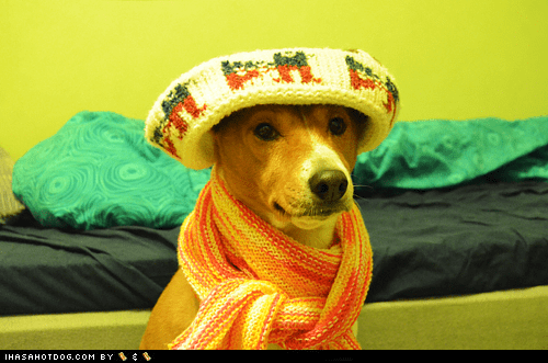 Goggie ob teh Week: Basenji Bundled Up!