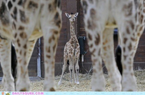 baby,giraffes,knees,knobby,little,squee spree,tall