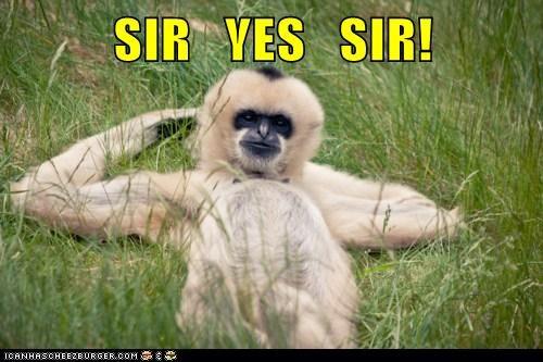 military,monkeys,salute,sir,sir yes sir,yes