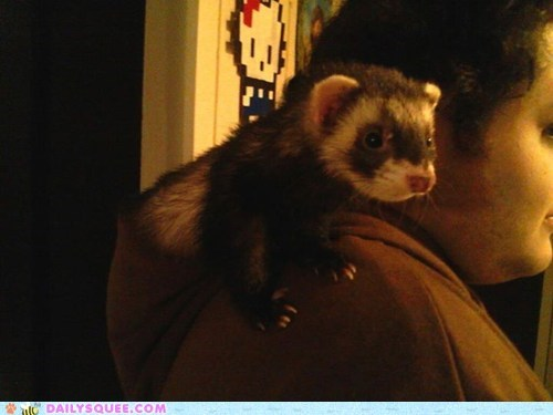 Reader Squees: Ferret in Da Hood