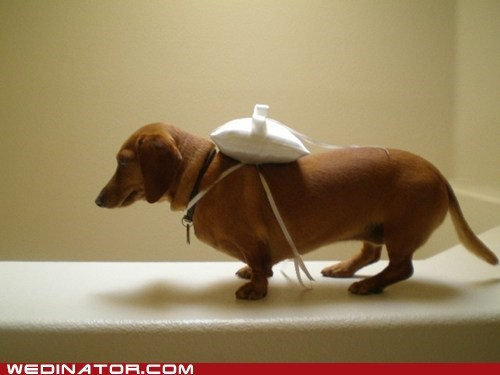 dogs,funny wedding photos,ringbearer