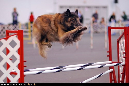 Goggie ob teh Week: Levitating Tervuren Incoming!