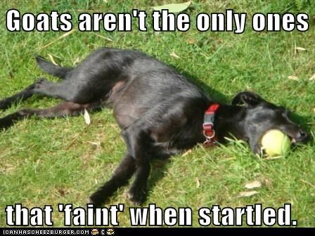 Goats aren't the only ones   that 'faint' when startled.