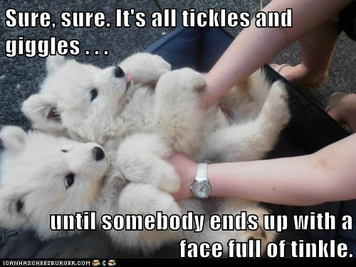 best of the week,cyoot,cyoot puppy ob teh day,funny,Hall of Fame,puppy,samoyed