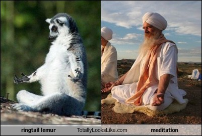 Ringtail Lemur Totally Looks Like Meditation