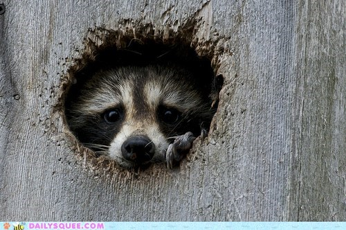 face,hole,play,raccoon,squee spree,wood