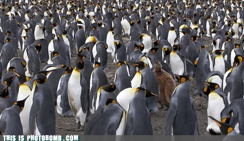 Animal Bomb,animals,lost,penguin