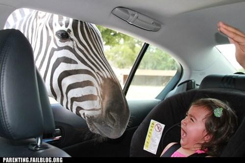 hoofbeats,horses,safari,saying,zebra
