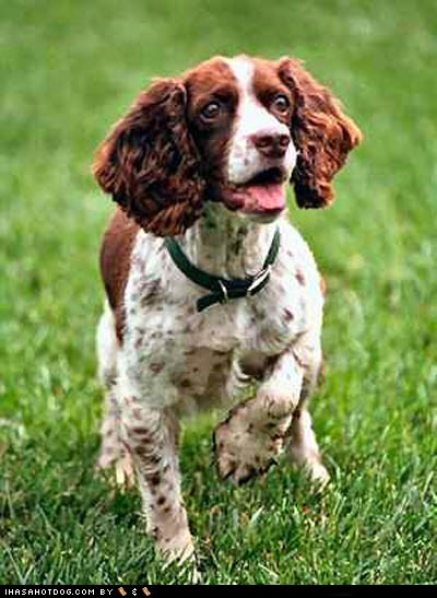 Goggie ob teh Week FACE OFF: English Springer Spaniel