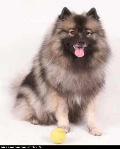 Goggie ob teh Week FACE OFF: Keeshond