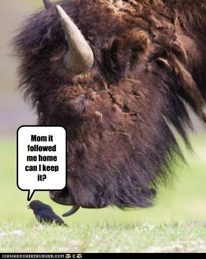bird,buffalo,can I keep it,followed me home,mom,pets