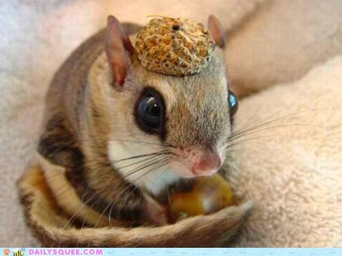 acorn,fashion,hat,nut,sugar glider