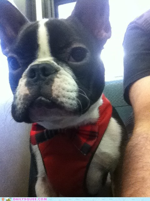 boston,dogs,french bulldogs,james bond,reader squees,spy