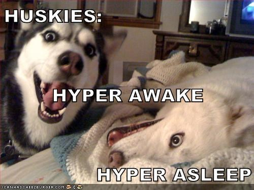 dogs,huskies,hyper