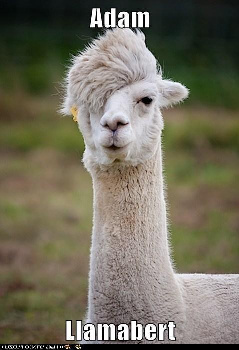 adam lambert,American Idol,farm,llama,pun,reference