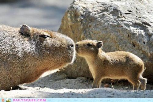 baby,capybara,KISS,mom,rocks