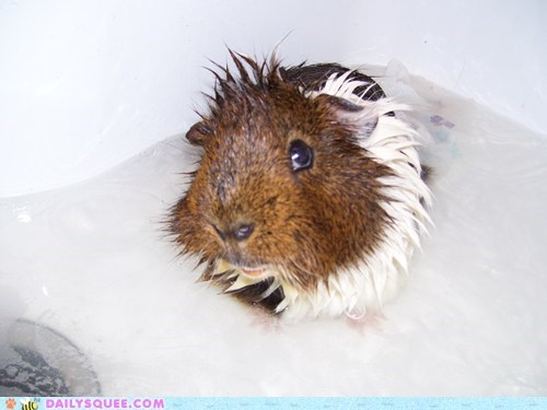 bath,clean,evil eye,guinea pig,reader squees