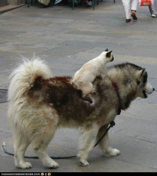 Cats,dogs,goggies r owr friends,Interspecies Love,noble steed,on top,riding