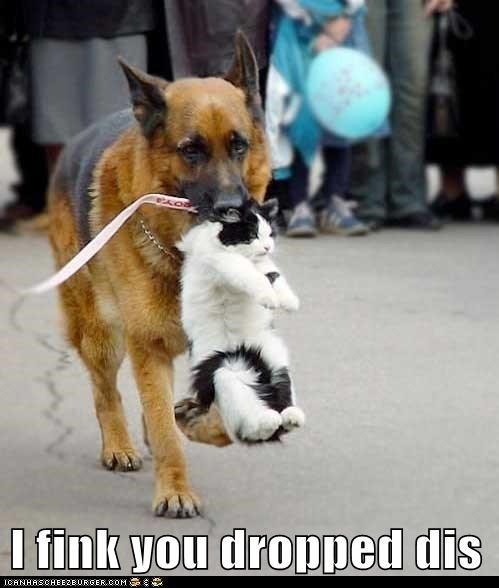 best of the week,carry,cat,Cats,dogs,dropped,german shephard,german shepherd,Hall of Fame,i think,Interspecies Love