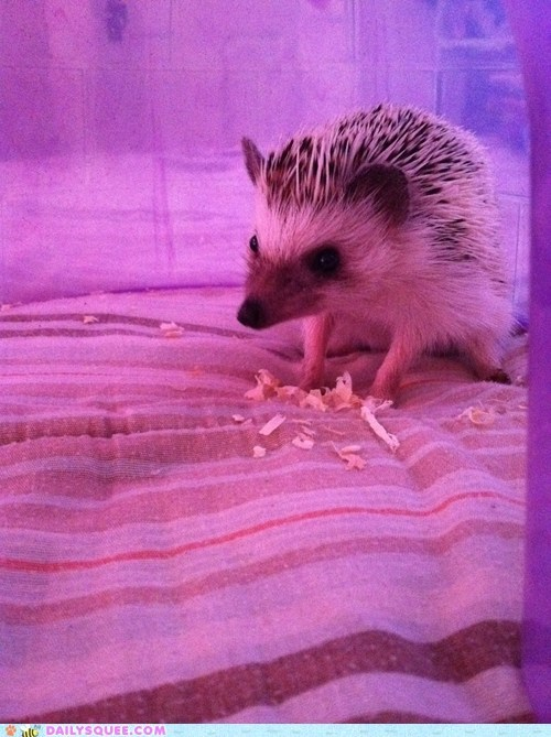 blanket,hedgehog,house,luma,pet,reader squees