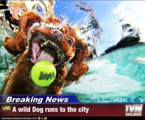Breaking News - A wild Dog runs to the city