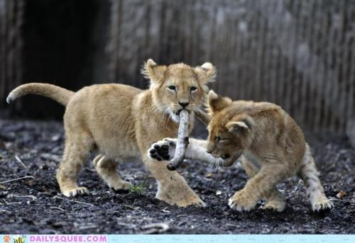 cub,lion,play,stick