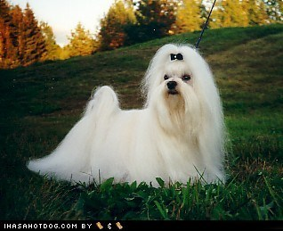Goggie ob teh Week FACE OFF: Maltese