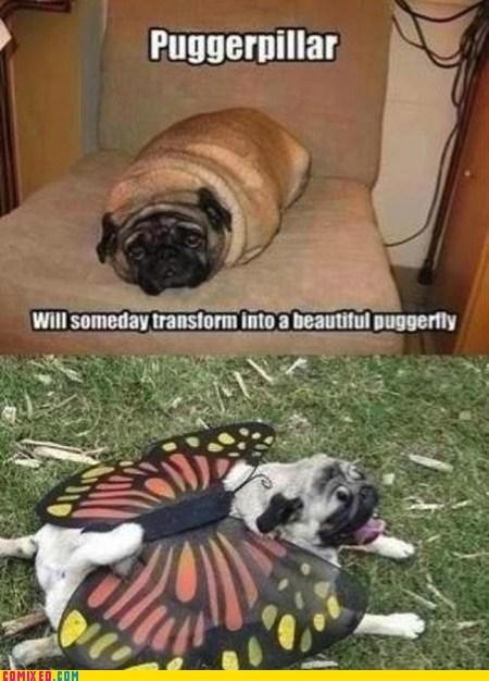 animals,best of week,caterpillar,pug