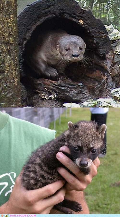 Squee Spree: River Otter vs. Civet