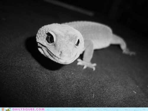 black and white,leopard gecko,pets,reader squees