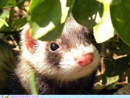 ferret,leaves,pets,reader squees,sunlight,walk