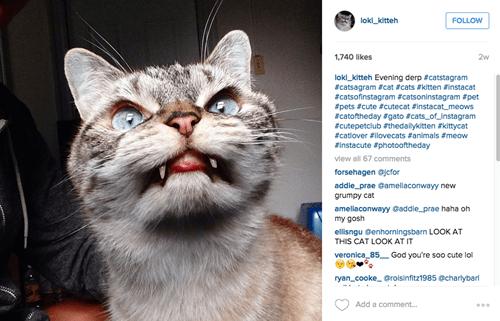 loki,cat,vampire,instagram