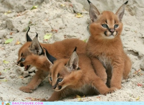 Daily Squee: Caracal Kittens