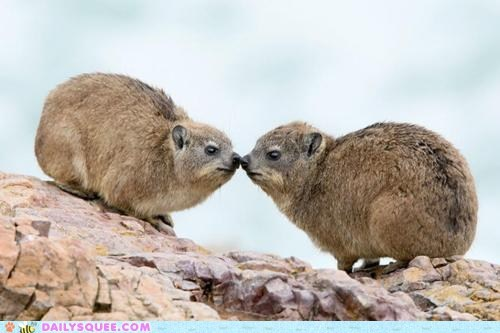 boop,KISS,kissing,nose,noses,rock hyrax,rock hyraxes,squee