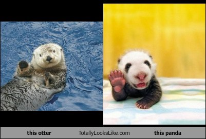 this otter Totally Looks Like this panda