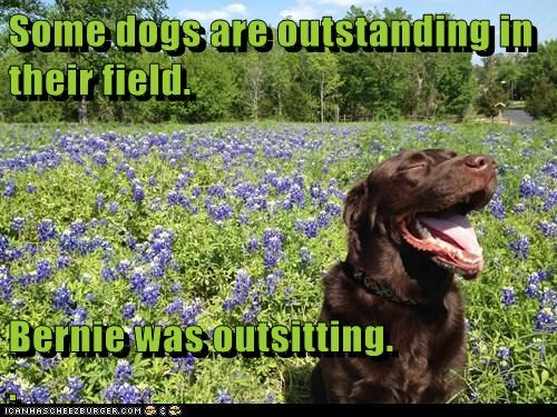 dogs,field,lab,outsitting