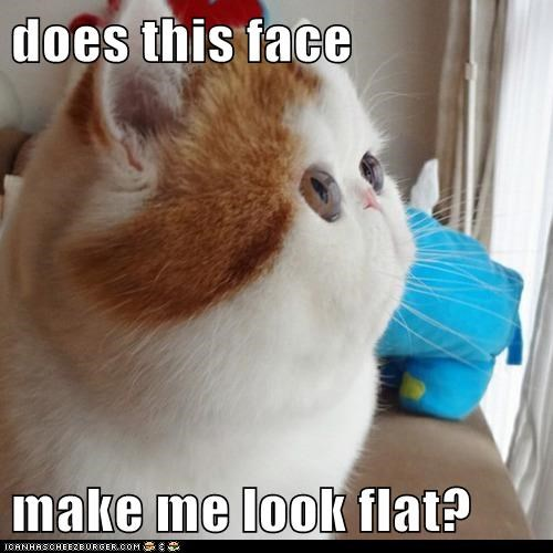 cat,Cats,eyes,face,fat,flat,flat face,lolcat,weird,wtf