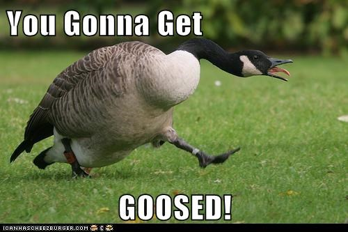 angry,chasing,geese,goose,goosed,mad,wordplay,words,you gonna